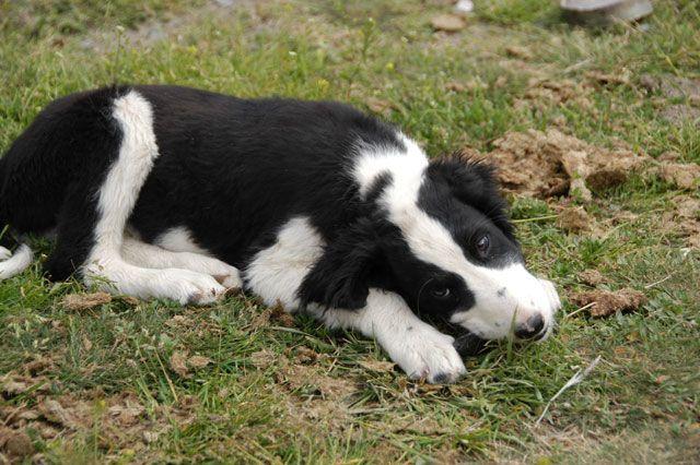 Taigan Puppies: Taigan Breed