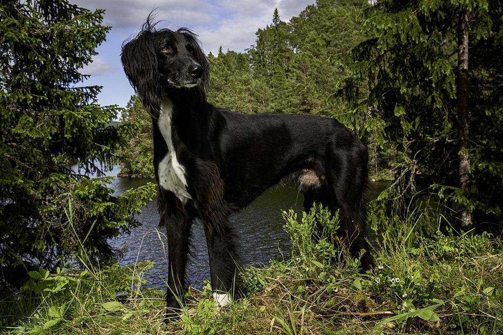 Taigan Puppies: Taigan Caesar Of King Harald V Of Norway Breed