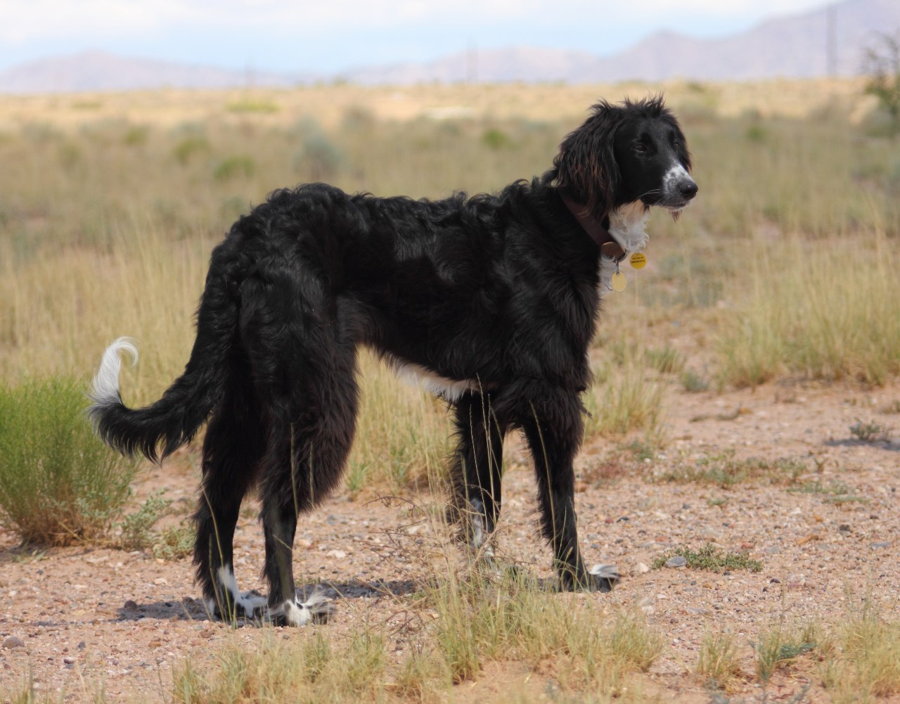 Taigan Dog: Taigan Cute Taigan Dog Breed