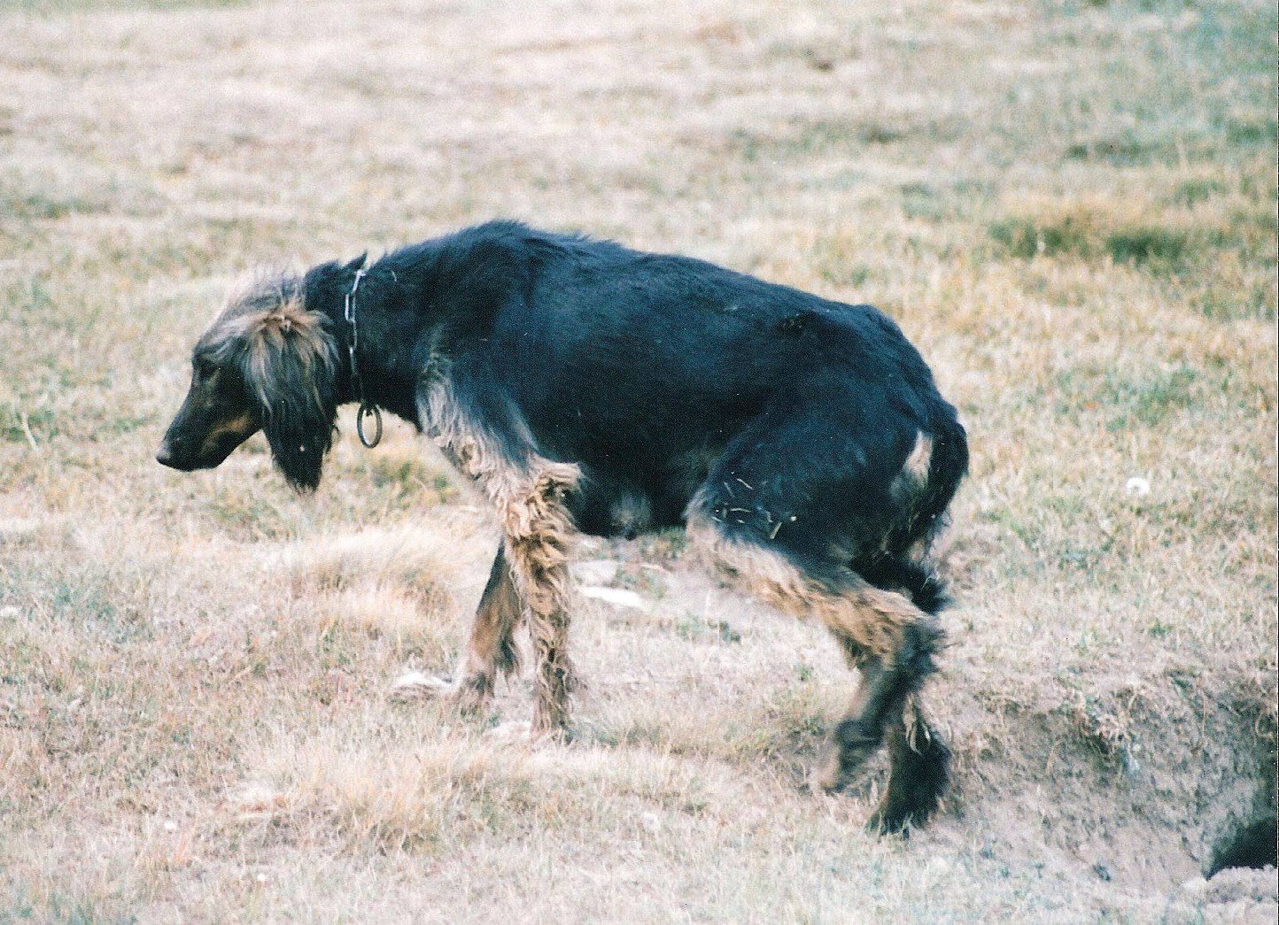 Taigan Dog: Taigan Hunting Taigan Dog Breed