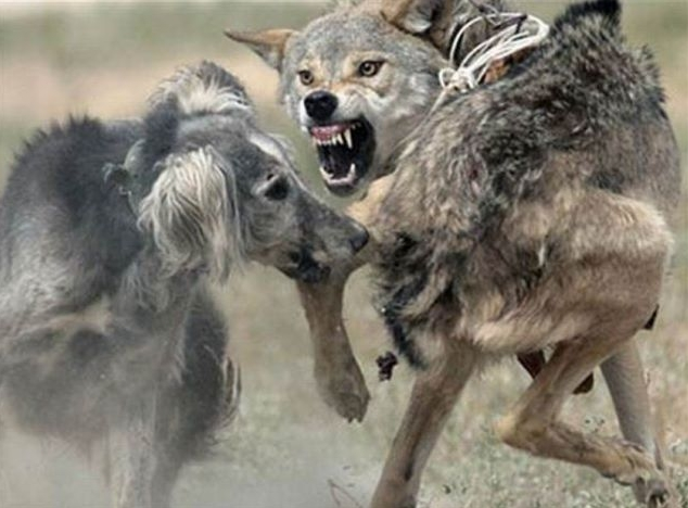 Taigan Dog: Taigan Judge Okays Wolf Hunting With Dogs In Breed