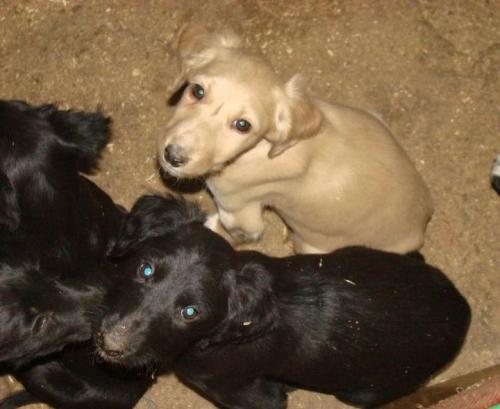 Taigan Puppies: Taigan Newsview Breed