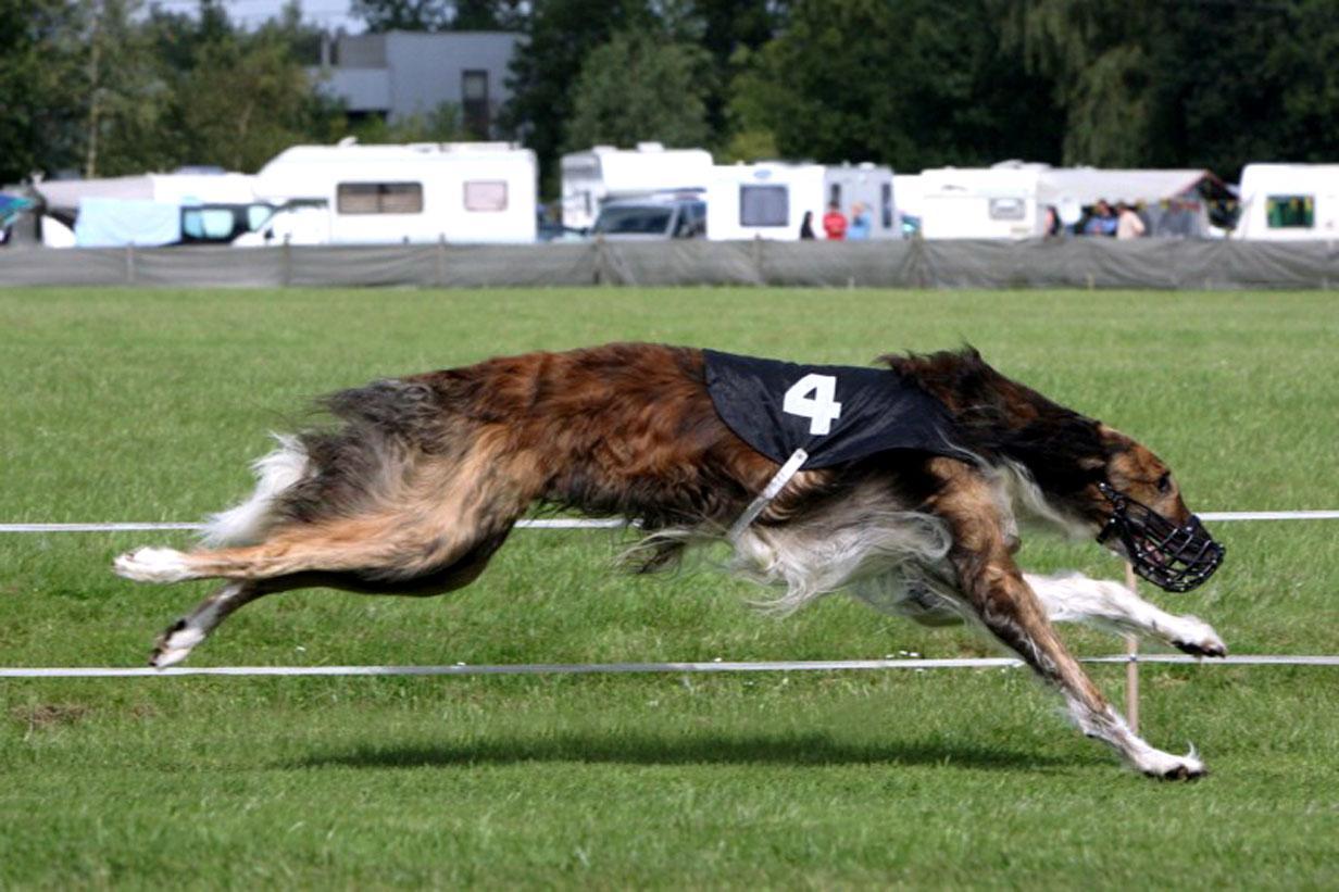 Taigan Dog: Taigan Running Taigan Dog Breed
