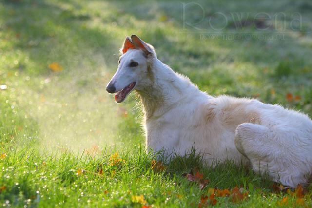 Taigan Puppies: Taigan Shchenki Breed