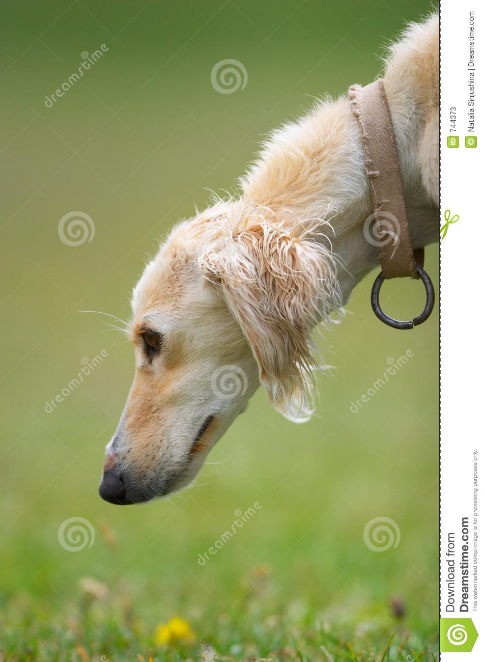 Taigan Puppies: Taigan Stock S Taigan Kyrgyz Borzoi Dog Head Breed