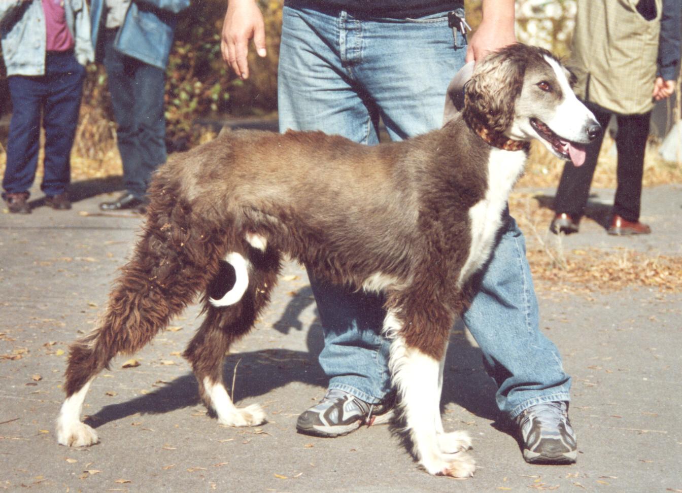 Taigan Dog: Taigan Taigan Breed