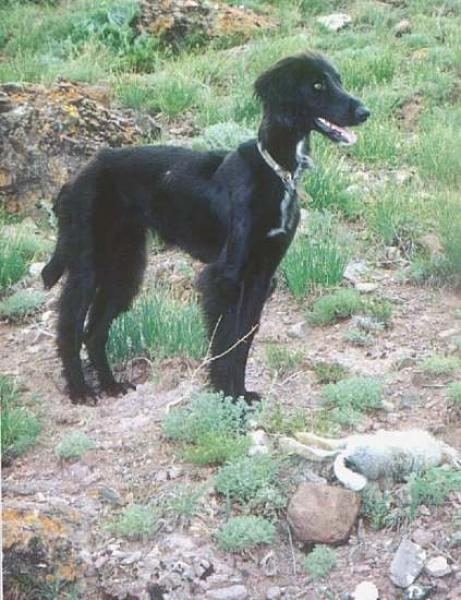 Taigan Dog: Taigan Taigan Dog Breed