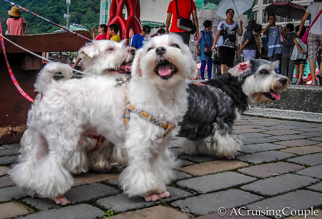 Taiwan Puppies: Taiwan Cute Puppies From Taiwan Breed