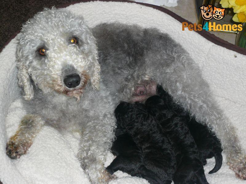 Talbot Puppies: Talbot Bedlington Terrier Puppies Port Talbot Breed