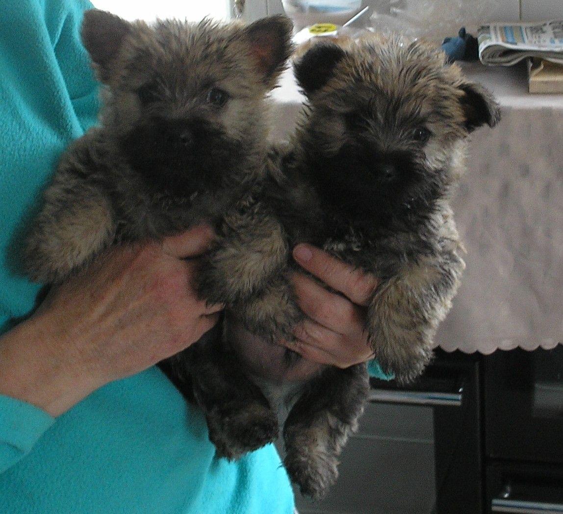 Talbot Puppies: Talbot Cairn Terrier Pups K C Registered Port Talbot Breed