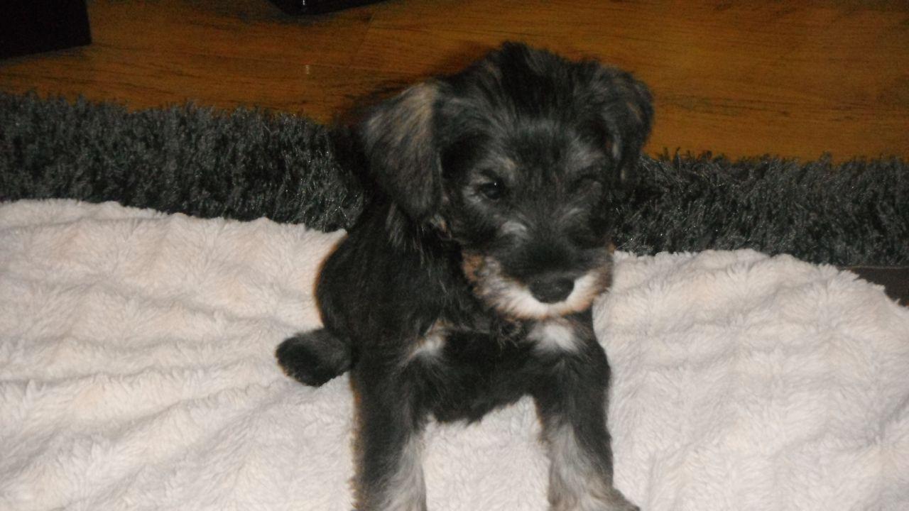 Talbot Puppies: Talbot Miniature Schnauzer Puppies For Sale Port Talbot Breed