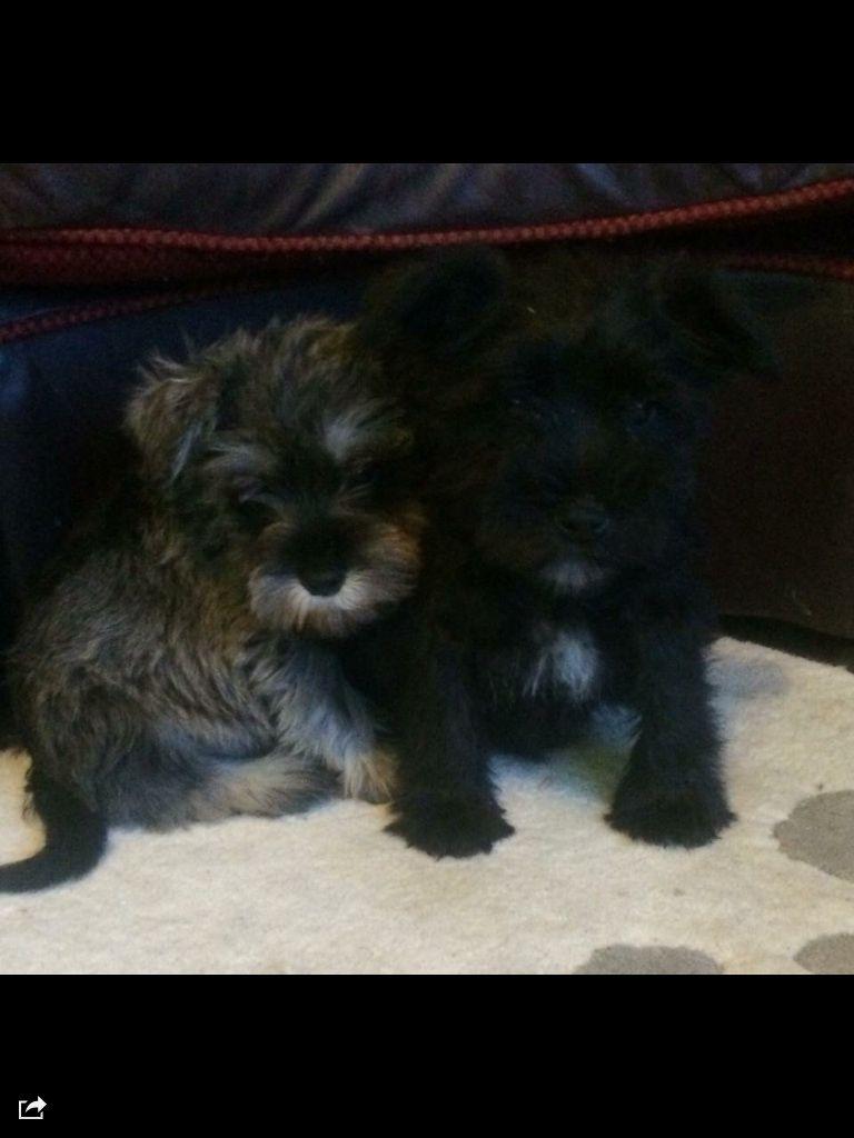 Talbot Puppies: Talbot Pretty Min Shnauzer Puppies Port Talbot Breed