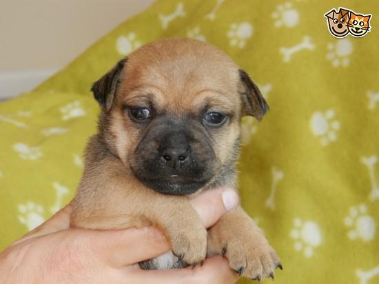 Talbot Puppies: Talbot Stunning Jug Puppies Neath Breed