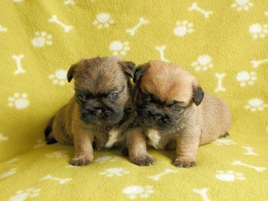 Talbot Puppies: Talbot Stunning Teddy Bear Puppies Neath Breed