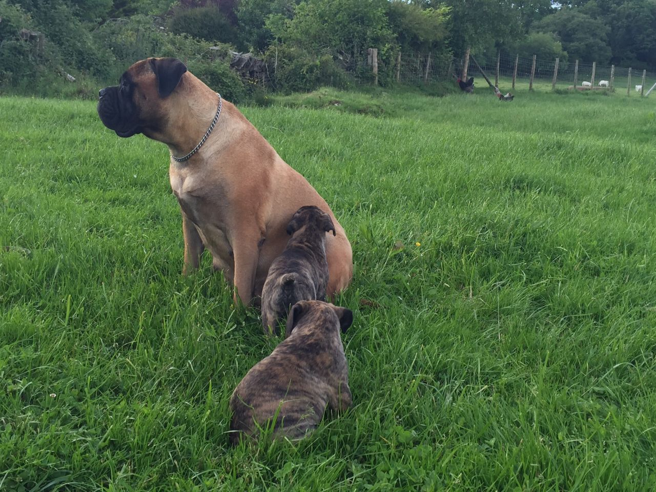 Talbot Puppies: Talbot Superb Bullmastiff Puppies Neath Breed