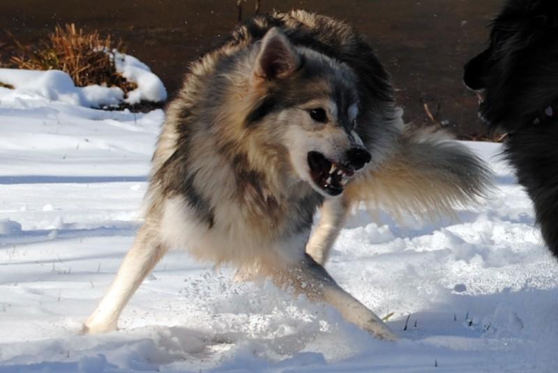 Tamaskan Puppies: Tamaskan Adulttamaskans Breed