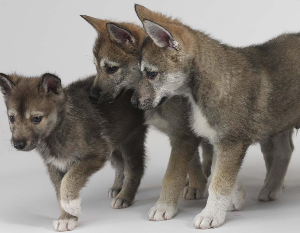 Tamaskan Dog: Tamaskan Breed Of The Month Tamaskan Dog