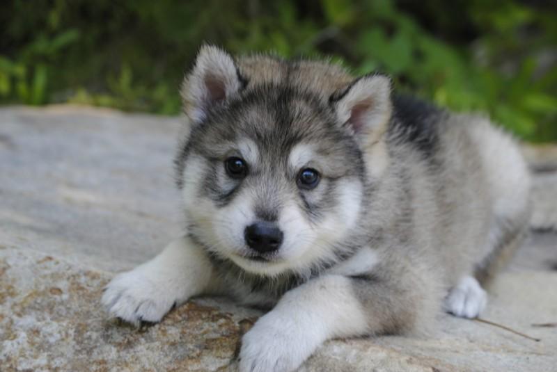 Tamaskan Puppies: Tamaskan Puppies Breed