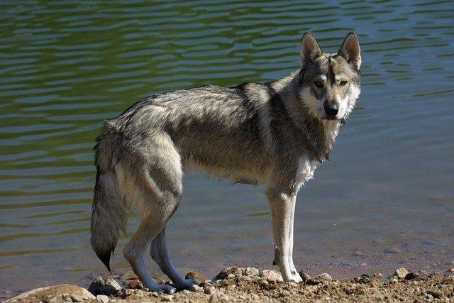 Tamaskan Dog: Tamaskan Tamaskan Dog Breed