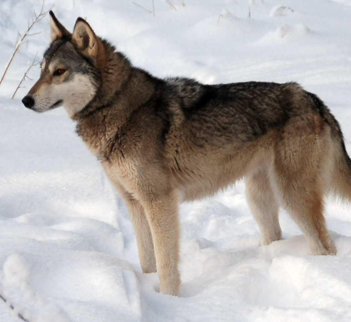 Tamaskan Dog: Tamaskan Tamaskan Dog In The Snow Breed