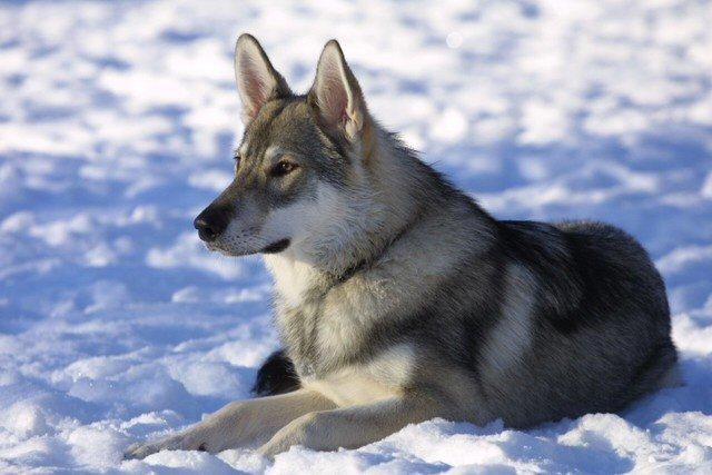 Tamaskan Dog: Tamaskan Tamaskan Dogs Breed