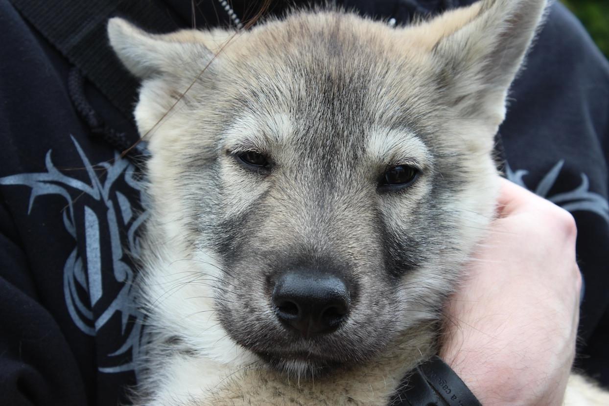 Tamaskan Puppies: Tamaskan Tamaskan Puppy Face Breed