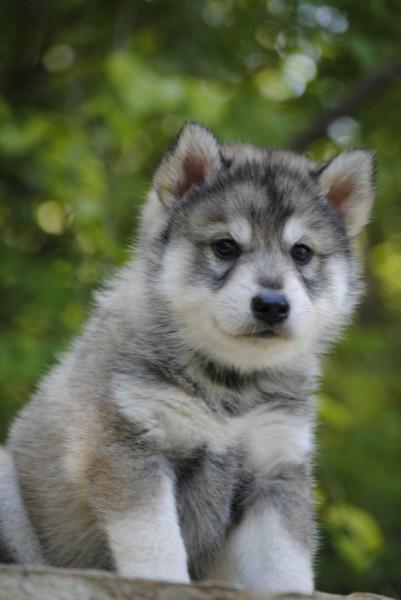 Tamaskan Puppies - Puppy Dog Gallery