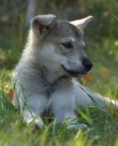 Tamaskan Dog: Tamaskan Tamaskandog Breed