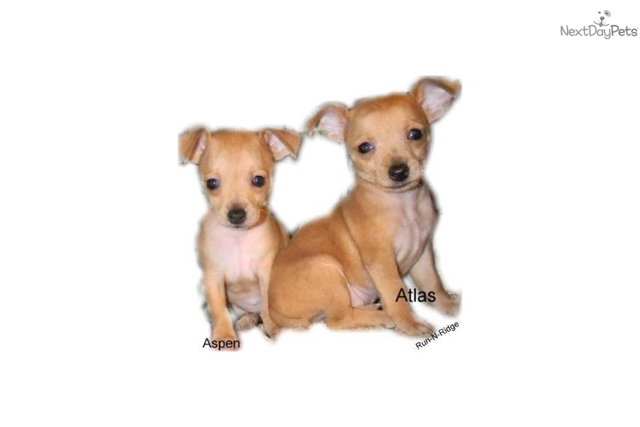 Teddy Roosevelt Terrier Puppies: Teddy C Breed