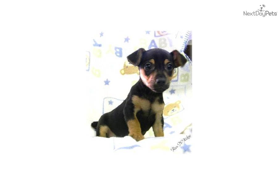 Teddy Roosevelt Terrier Dog: Teddy C Ca Breed
