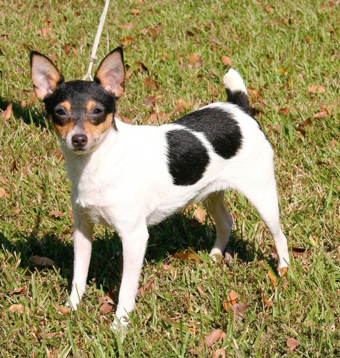 Teddy Roosevelt Terrier Dog: Teddy Cute Teddy Roosevelt Terrier Breed