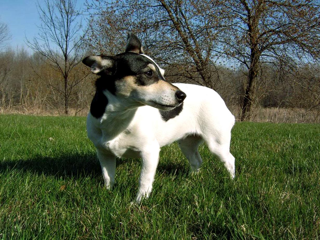 Teddy Roosevelt Terrier Dog: Teddy Teddy Roosevelt Terrier For A Walk Breed