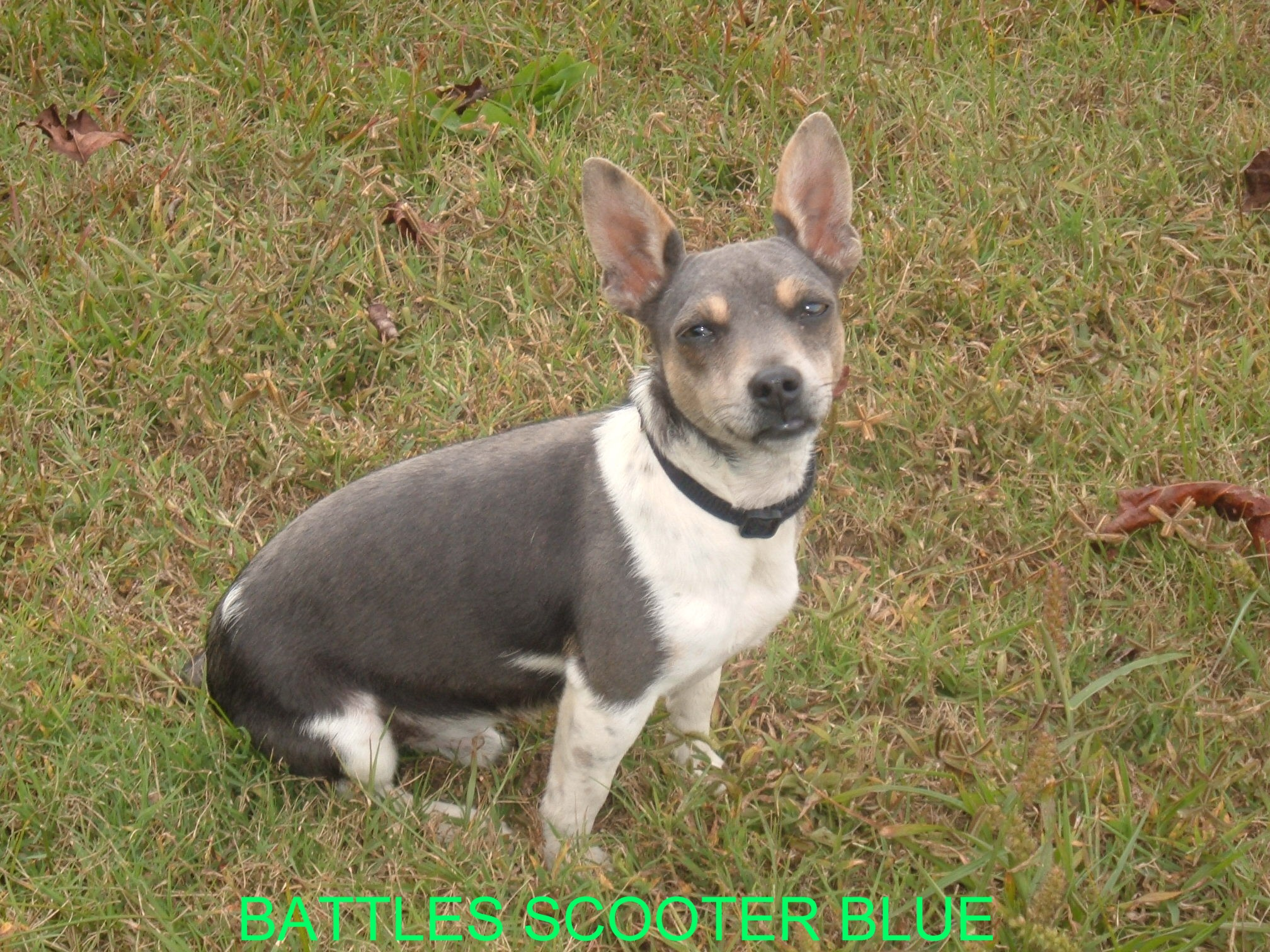 Teddy Roosevelt Terrier Dog: Teddy Teddyrooseveltterriers Breed