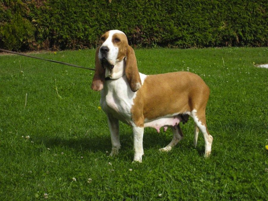 Telomian Dog: Telomian Httpccimgtapatalkcomccd A Jpg Breed