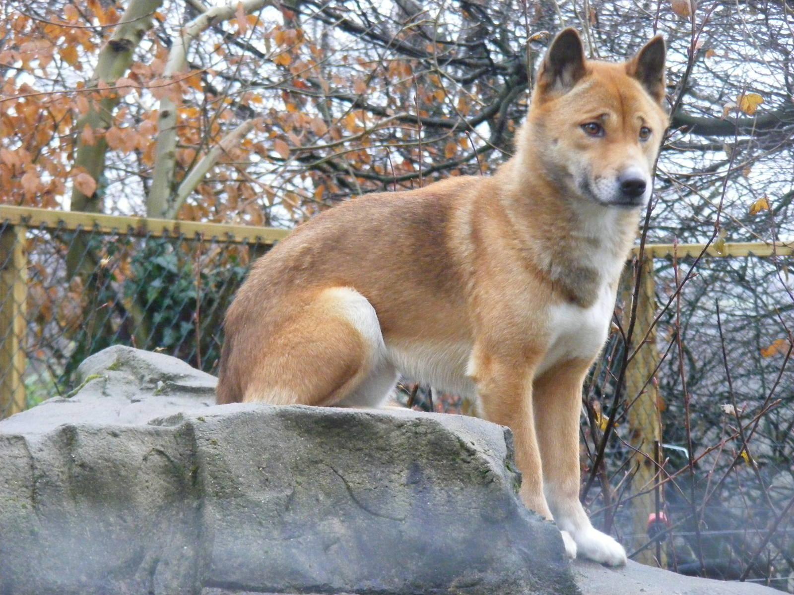 Telomian Dog: Telomian Kota New Guinea Singing Dog Exmoor Breed