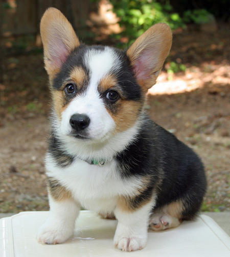 Telomian Puppies: Telomian Miles The Pembroke Welsh Corgi Breed