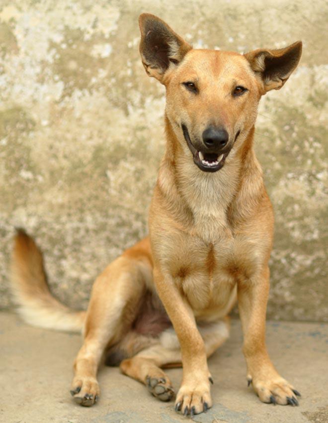 Telomian Dog: Telomian Most Quirky Dog Breeds