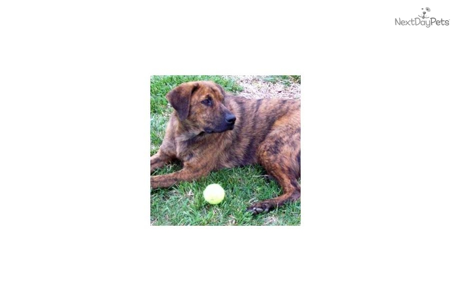 Tennessee Treeing Brindle Puppies: Tennessee Bbbf Ec Breed