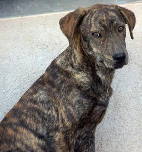 Tennessee Treeing Brindle Puppies: Tennessee Mountaincur Breed