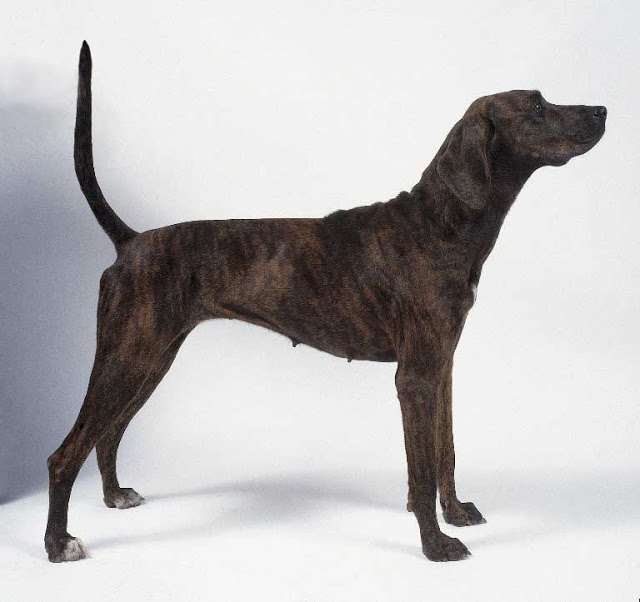 Tennessee Treeing Brindle Puppies: Tennessee Plott Hound Breed