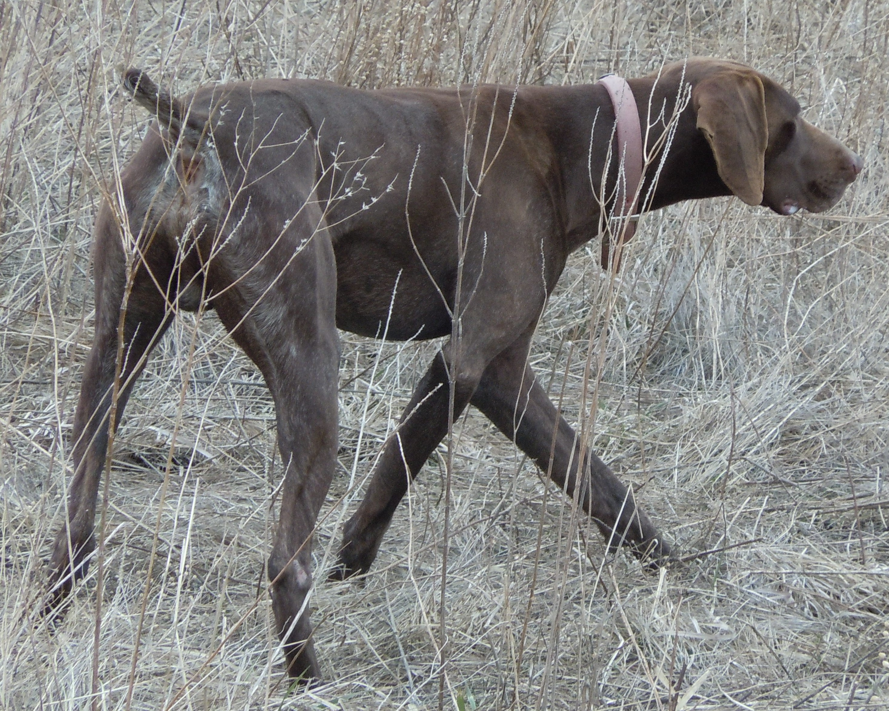 Tennessee Treeing Brindle Dog: Tennessee Tennessee Treeing Brindle Gallery Tennessee Treeing Brindle Breed