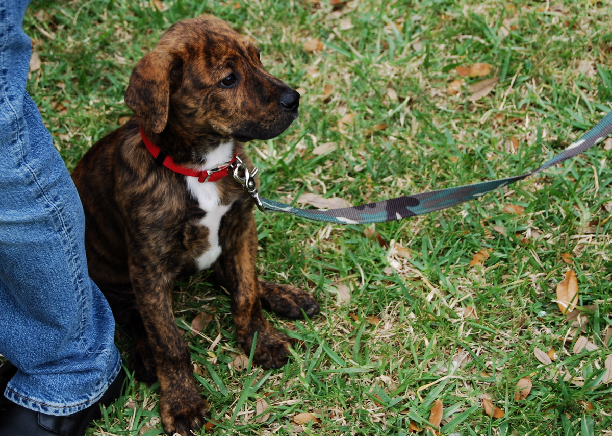 Tennessee Treeing Brindle Dog: Tennessee Tennessee Treeing Brindle Near The Owner Breed