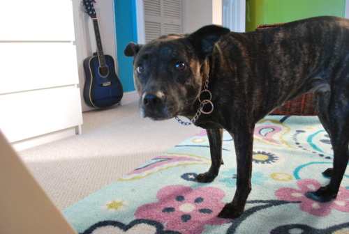 Tennessee Treeing Brindle Dog: Tennessee Treeing Tennessee Brindle Breed