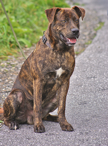 Tennessee Treeing Brindle Dog: Tennessee Treeing Tennessee Brindle Pictures Breed