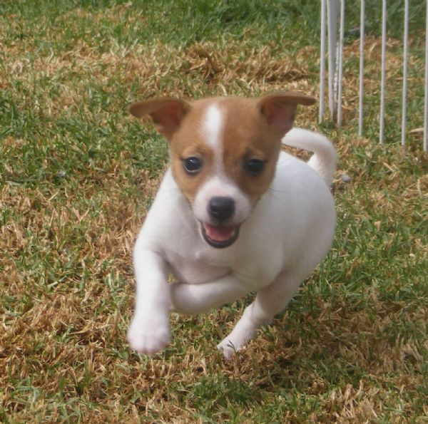 Tenterfield Terrier Dog: Tenterfield Dog Pics Breed