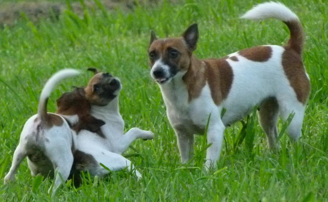 Tenterfield Terrier Puppies: Tenterfield Puppies Breed