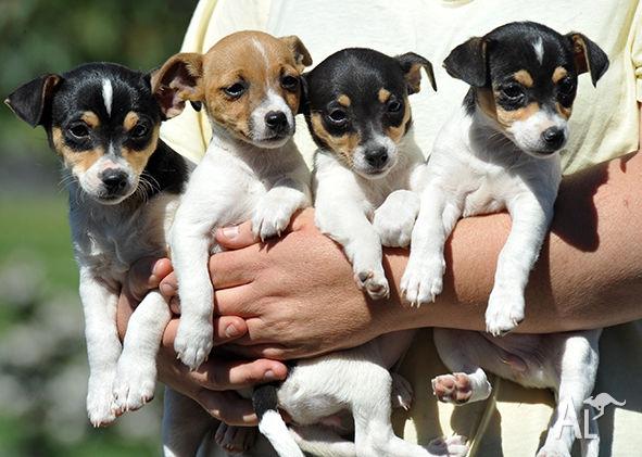 Tenterfield Terrier Puppies: Tenterfield Purebred Tenterfield Terriers Breed