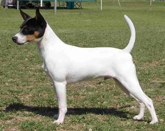 Tenterfield Terrier Puppies: Tenterfield Telomian Puppies Breed