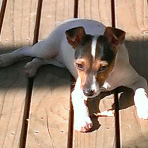 Tenterfield Terrier Puppies: Tenterfield Tentella Breed