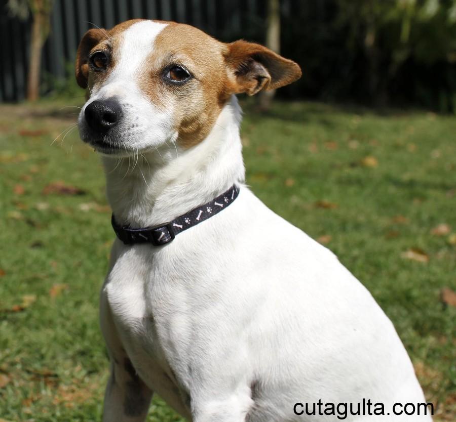 Tenterfield Terrier Dog: Tenterfield Tenterfield Terrier Breed